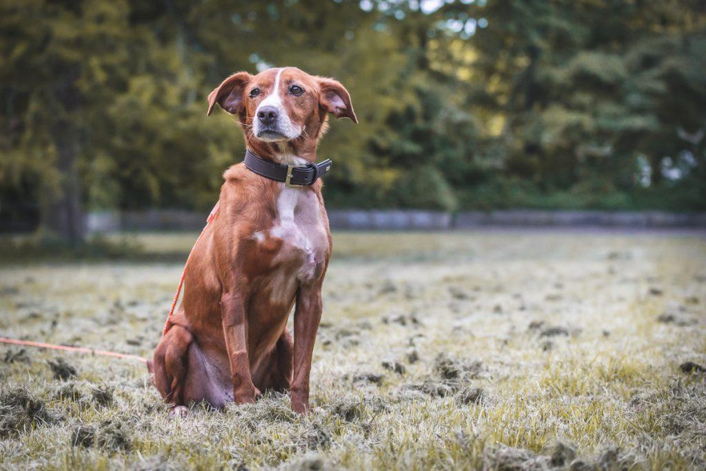 Braun-weißer Mischlingshund auf der Wiese an der Langleine. Foto. Kerstin Bittner